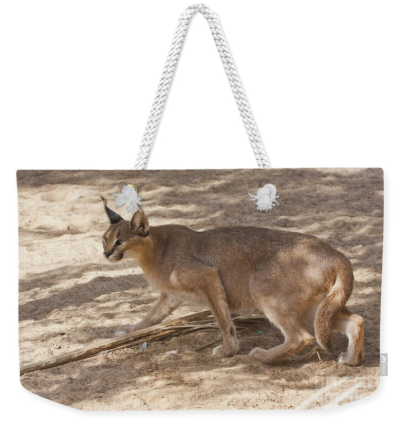 Caracal Weekender Tote Bag featuring the photograph Caracal Caracal Caracal by Eyal Bartov