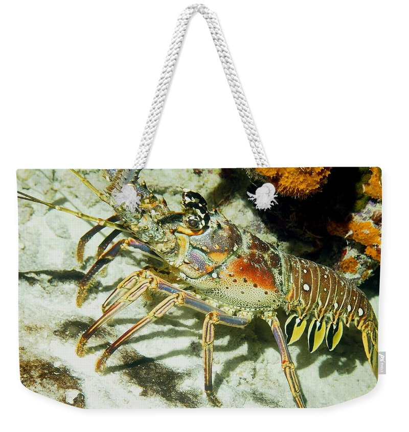 Nature Weekender Tote Bag featuring the photograph Caribbean Spiny Reef Lobster by Amy McDaniel