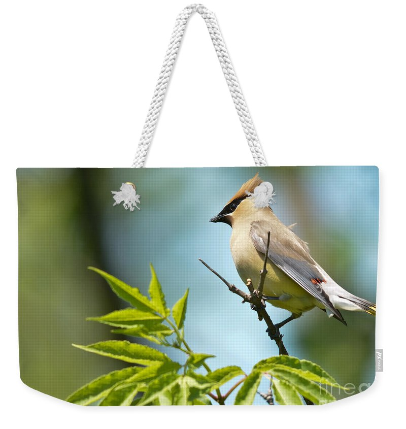 Cedar Waxwing Weekender Tote Bag featuring the photograph Catching The Wind by Cheryl Baxter