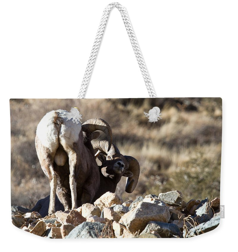 Bighorn Sheep Photograph Weekender Tote Bag featuring the photograph Challenging Authority by Jim Garrison