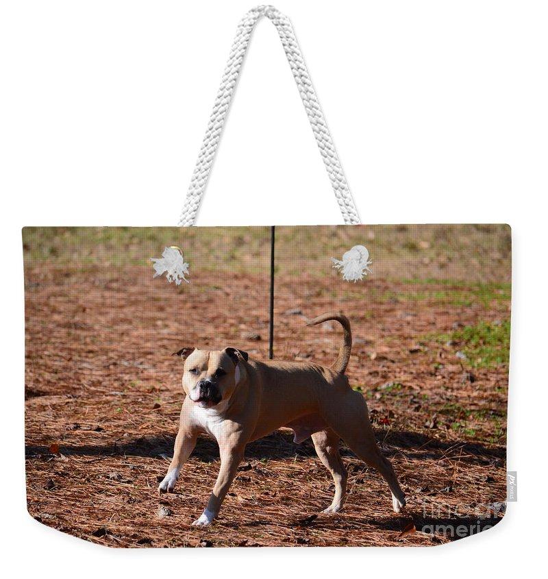 Charging Pitbull Weekender Tote Bag featuring the photograph Charging Pitbull by Maria Urso