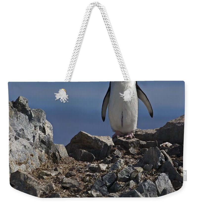 Festblues Weekender Tote Bag featuring the photograph Chinstrap On The Look Out.. by Nina Stavlund