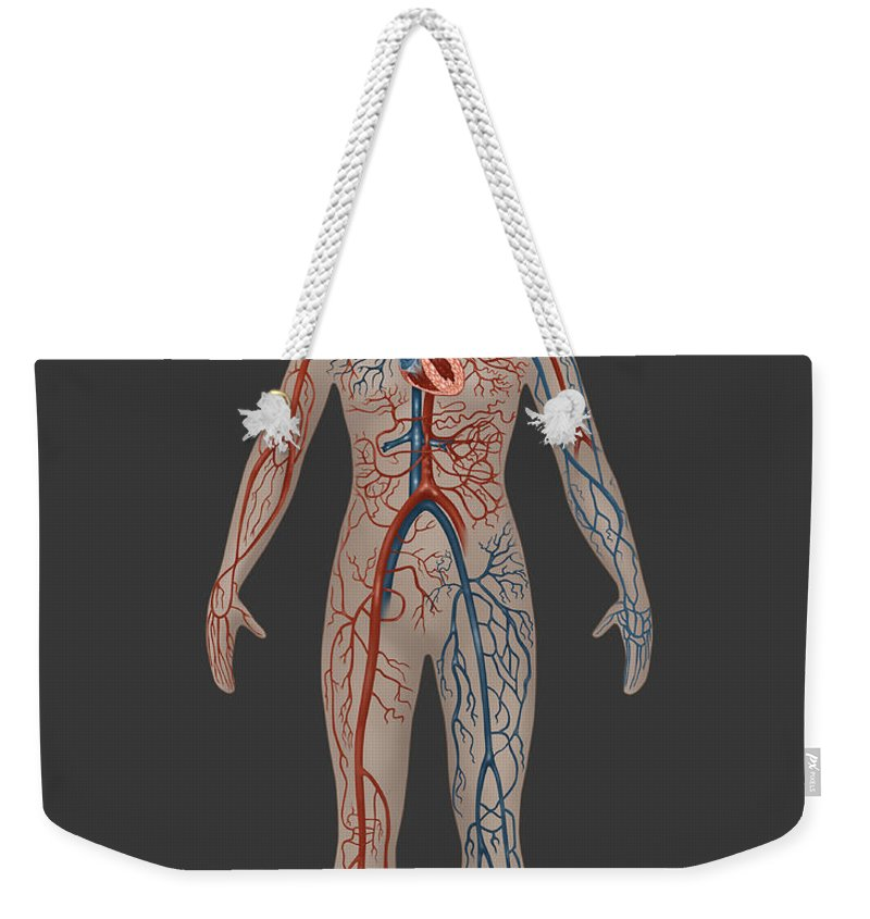 Science Weekender Tote Bag featuring the photograph Circulatory System In Female Anatomy by Gwen Shockey