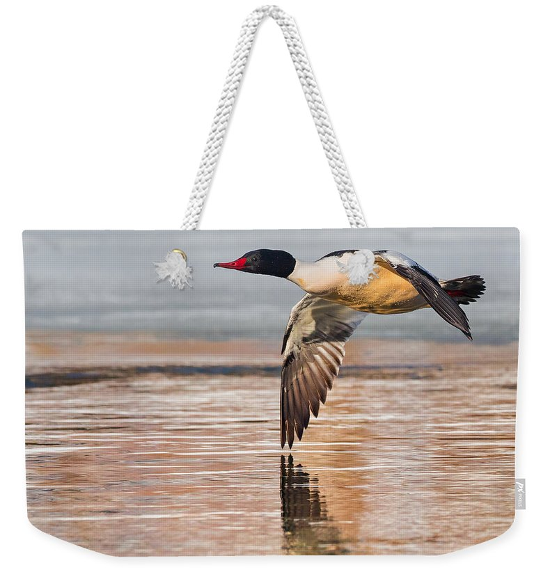 Duck Weekender Tote Bag featuring the photograph Common Merganser In Flight Square by Bill Wakeley