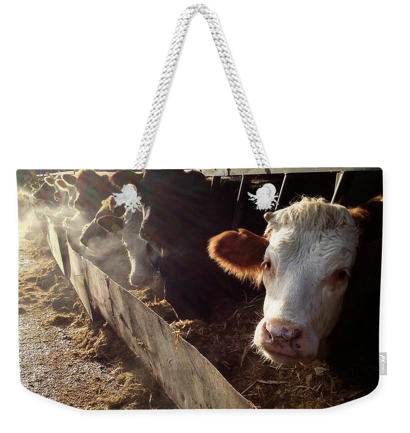 In A Row Weekender Tote Bag featuring the photograph Cows Looking Out Of A Barn by James Ephraums
