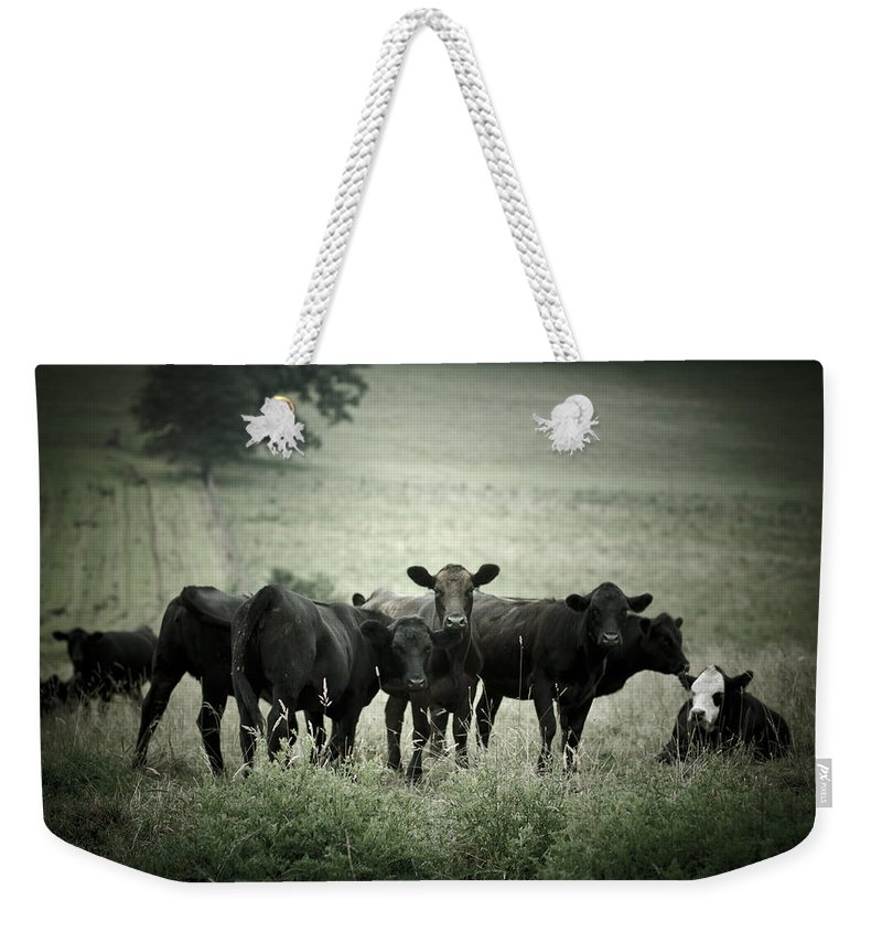 Cows Weekender Tote Bag featuring the photograph Cows by Shane Holsclaw