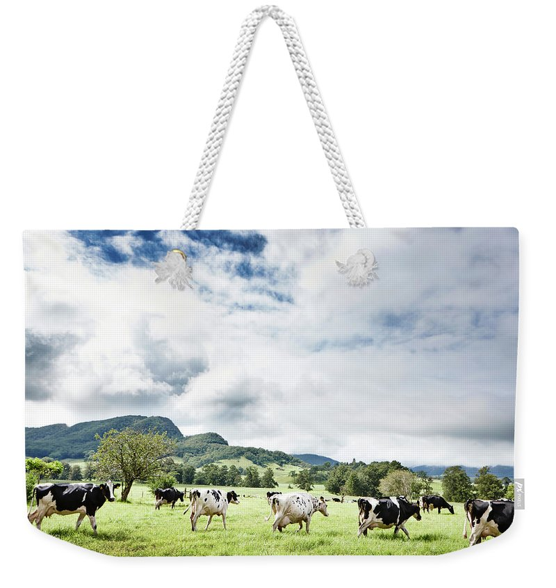 Domestic Animals Weekender Tote Bag featuring the photograph Cows Walk In Beautiful Paddock by Stuart Miller
