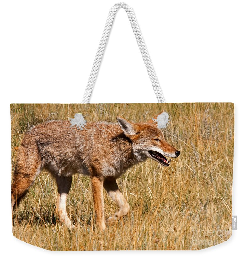 Canis Latrans Weekender Tote Bag featuring the photograph Coyote In Rocky Mountain National Park by Fred Stearns