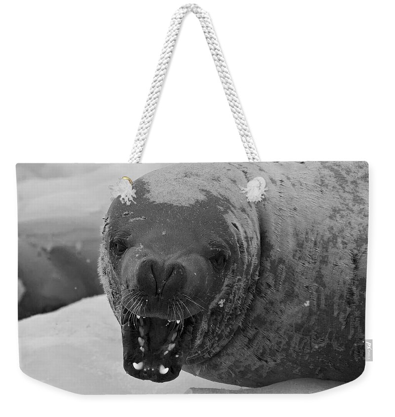 Festblues Weekender Tote Bag featuring the photograph Crabeater Seal.. by Nina Stavlund