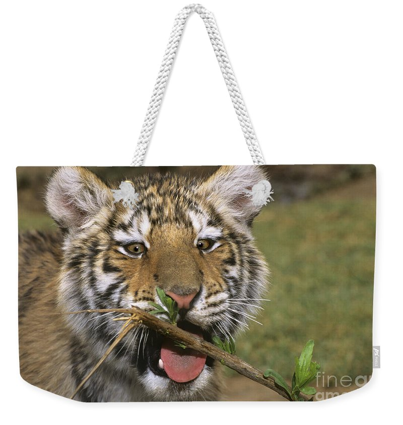 Siberian Tiger Weekender Tote Bag featuring the photograph Crosseyed Siberian Tiger Cub Endangered Species Wildlife Rescue by Dave Welling
