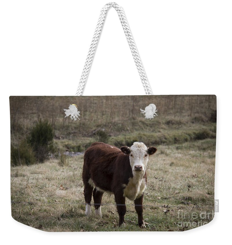 Cow Weekender Tote Bag featuring the photograph Curious by Teresa Mucha