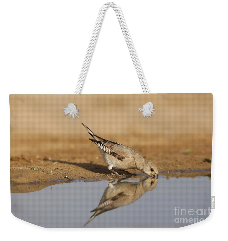 Desert Weekender Tote Bag featuring the photograph Desert Finch Carduelis Obsoleta by Eyal Bartov