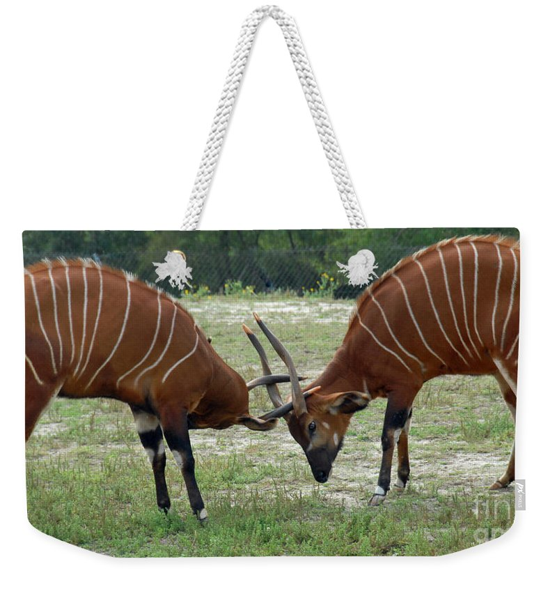 Animals Weekender Tote Bag featuring the photograph Double Bongo by Cindy Manero