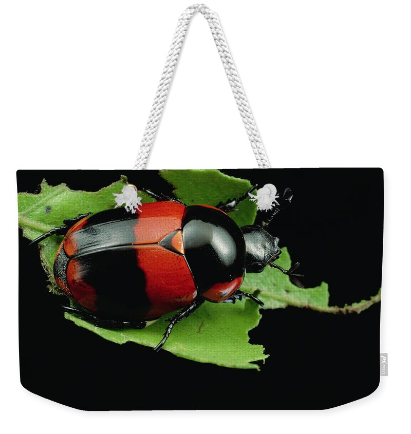 Mp Weekender Tote Bag featuring the photograph Dung Beetle Panama by Mark Moffett