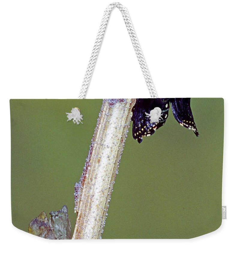 Fauna Weekender Tote Bag featuring the photograph Eastern Black Swallowtail Metamorphosis by Millard H. Sharp