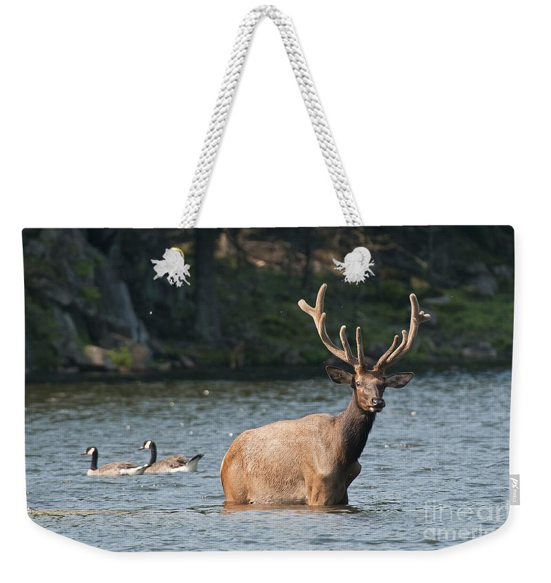 Elk Weekender Tote Bag featuring the photograph Elk Pictures 63 by World Wildlife Photography