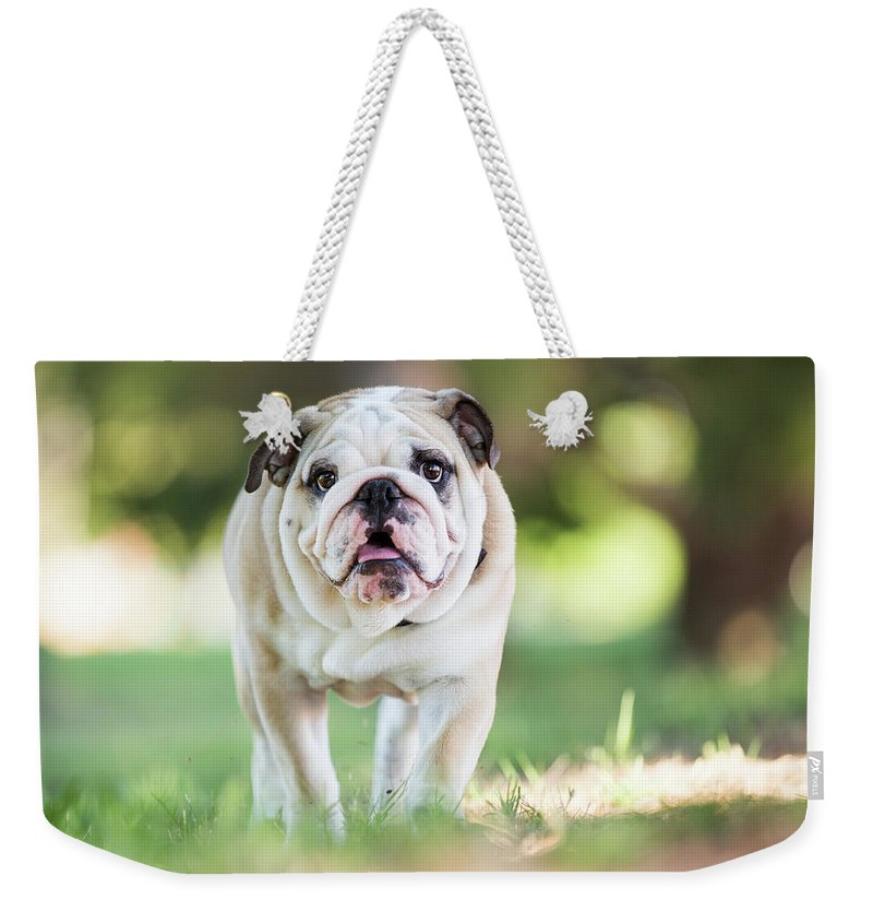 Pets Weekender Tote Bag featuring the photograph English Bulldog Puppy Walking Outdoors by Purple Collar Pet Photography