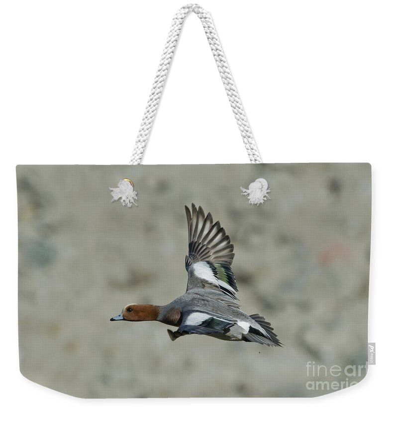 Eurasian Wigeon Weekender Tote Bag featuring the photograph Eurasian Wigeon Flying by Anthony Mercieca
