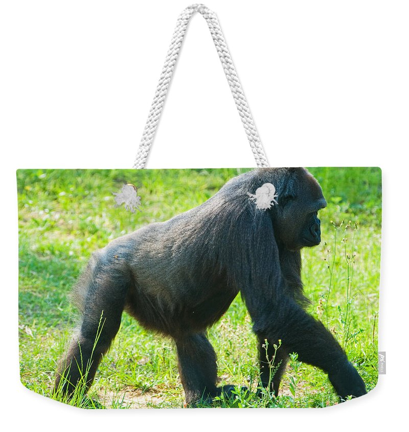 Nature Weekender Tote Bag featuring the photograph Female Western Lowland Gorilla by Millard H. Sharp