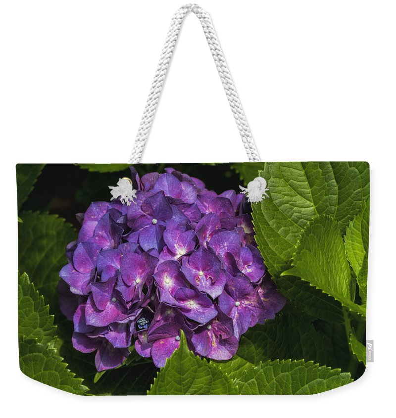 Hydrangea Macrophylla Weekender Tote Bag featuring the photograph Framed Purple Blue Hydrangea Blossom by Kathy Clark