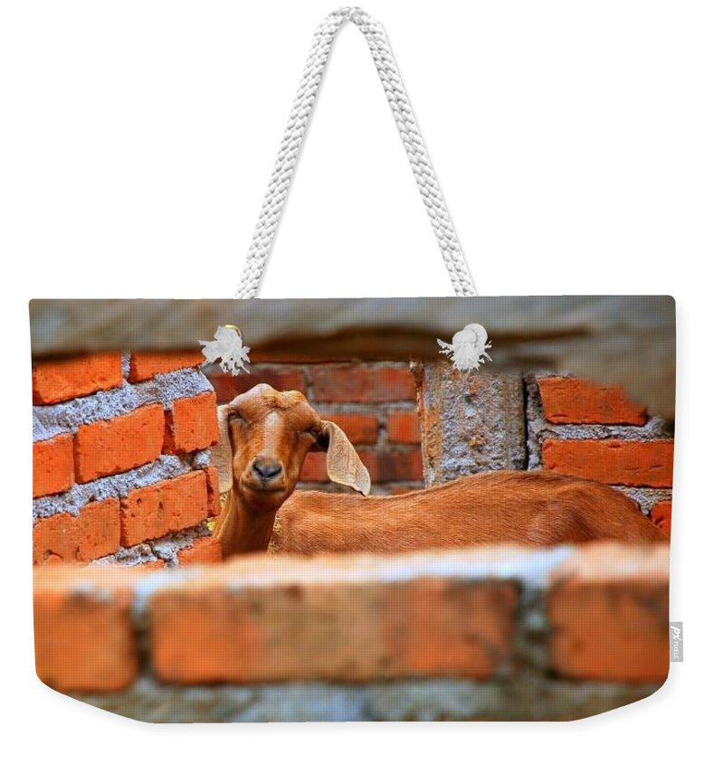 Goat Smiling Weekender Tote Bag featuring the photograph Goat In A Box by Pamela Smale Williams