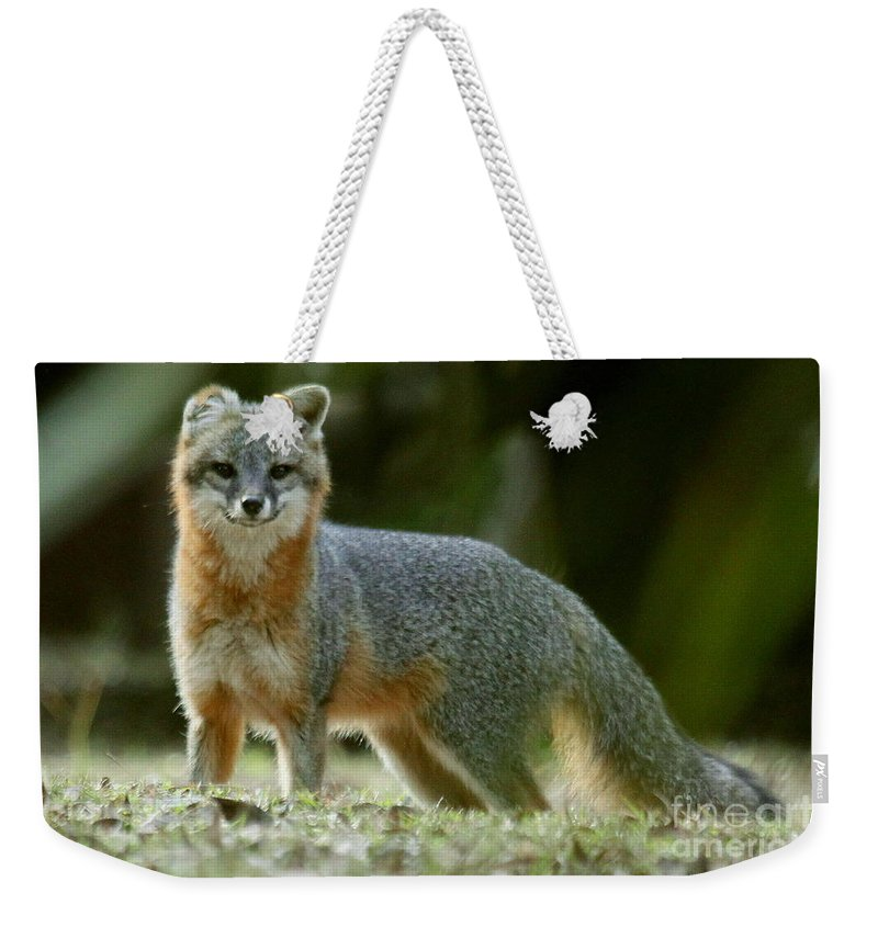 Fox Weekender Tote Bag featuring the photograph Gray Fox On Alert by Myrna Bradshaw