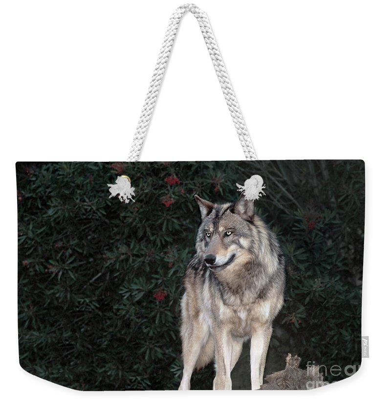 Gray Wolf Weekender Tote Bag featuring the photograph Gray Wolf Endangered Species Wildlife Rescue by Dave Welling