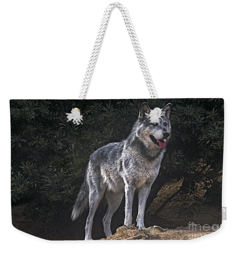Gray Wolf Weekender Tote Bag featuring the photograph Gray Wolf On Hillside Endangered Species Wildlife Rescue by Dave Welling
