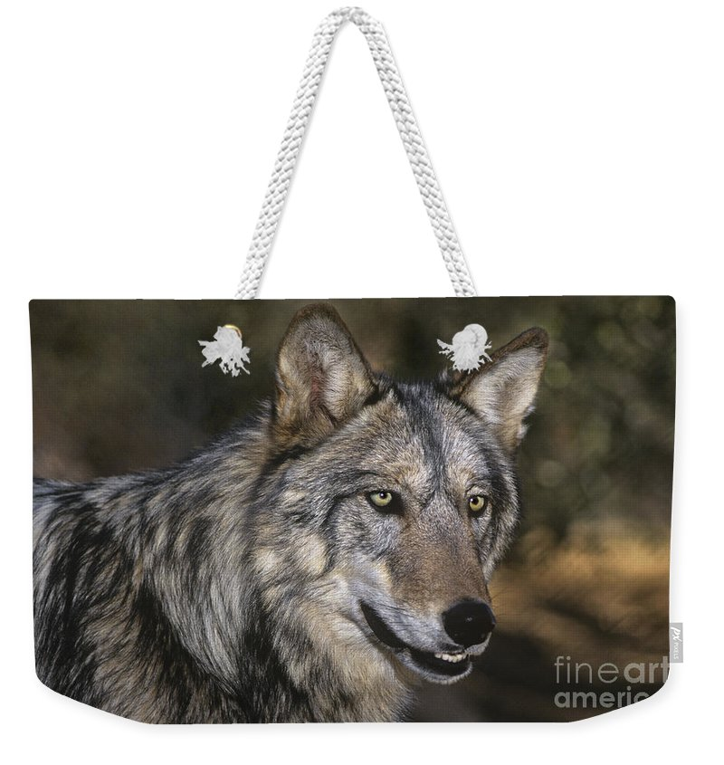 Gray Wolf Weekender Tote Bag featuring the photograph Gray Wolf Portrait Endangered Species Wildlife Rescue by Dave Welling