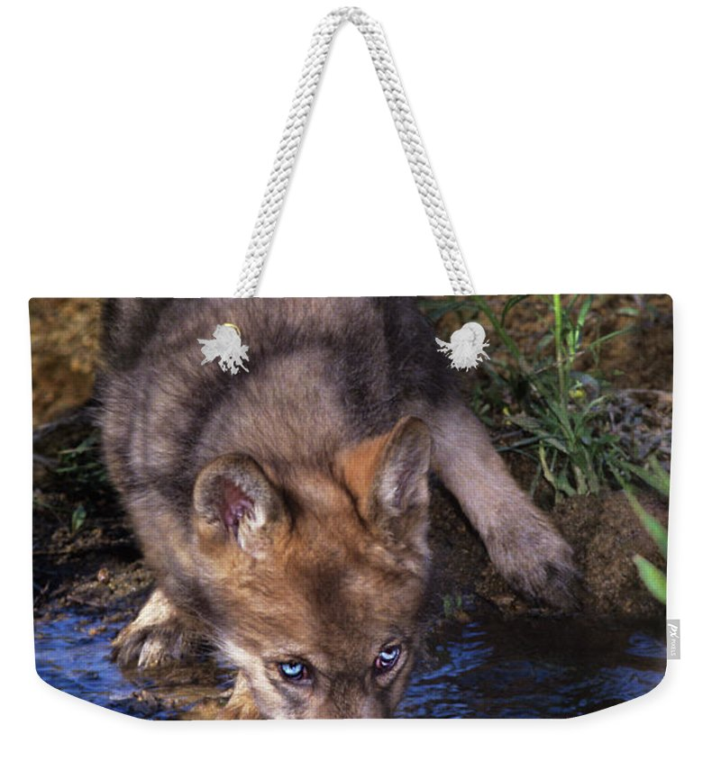 Gray Wolf Weekender Tote Bag featuring the photograph Gray Wolf Pup Endangered Species Wildlife Rescue by Dave Welling