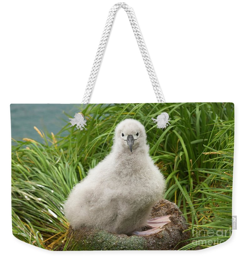 00345278 Weekender Tote Bag featuring the photograph Grey-headed Albatross Chick by Yva Momatiuk John Eastcott