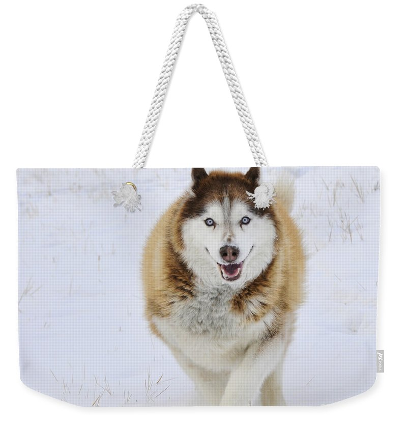 Husky Weekender Tote Bag featuring the photograph Happy Husky by Gary Beeler