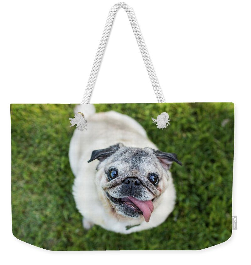 Pets Weekender Tote Bag featuring the photograph Happy Pug Dog Looks Up At Camera by Purple Collar Pet Photography