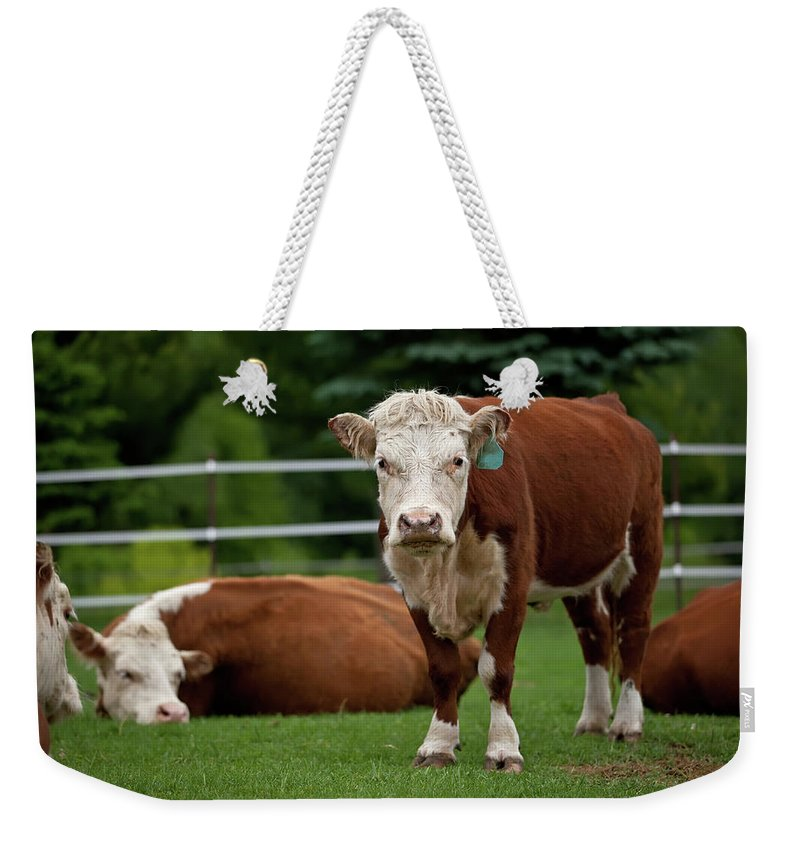 Grass Weekender Tote Bag featuring the photograph Hereford Cows In Green Pasture by Emholk