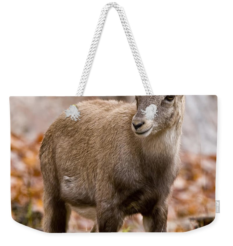 Ibex Weekender Tote Bag featuring the photograph Ibex Pictures 10 by World Wildlife Photography