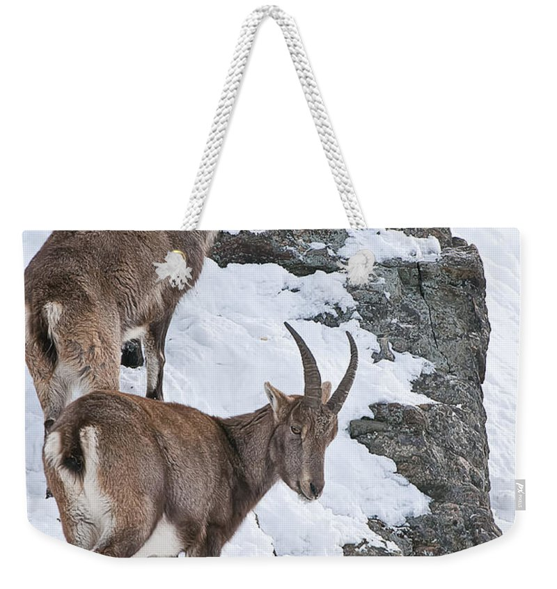 Ibex Weekender Tote Bag featuring the photograph Ibex Pictures 171 by World Wildlife Photography
