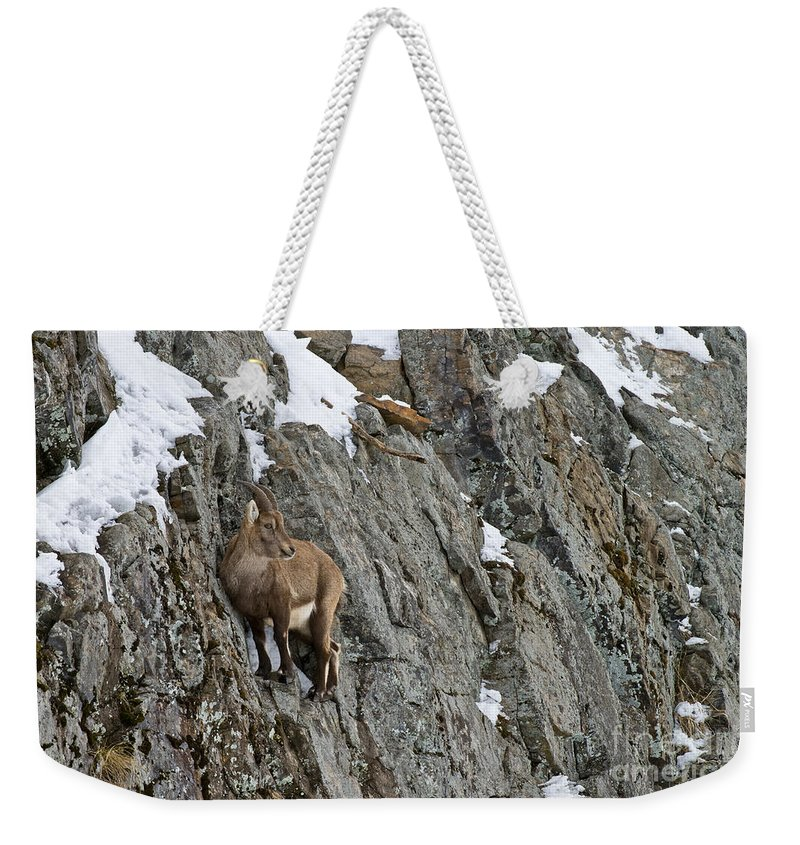 Ibex Weekender Tote Bag featuring the photograph Ibex Pictures 183 by World Wildlife Photography