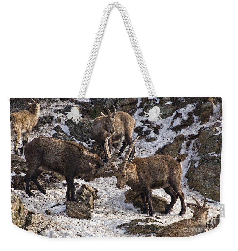 Ibex Weekender Tote Bag featuring the photograph Ibex Pictures 83 by World Wildlife Photography
