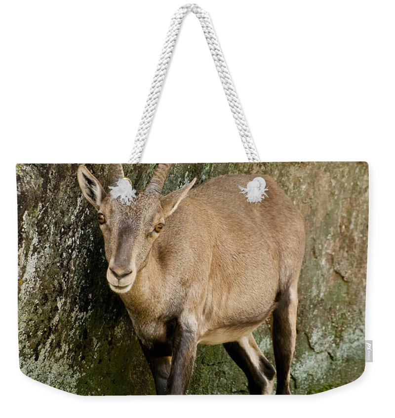 Ibex Weekender Tote Bag featuring the photograph Ibex Pictures 115 by World Wildlife Photography