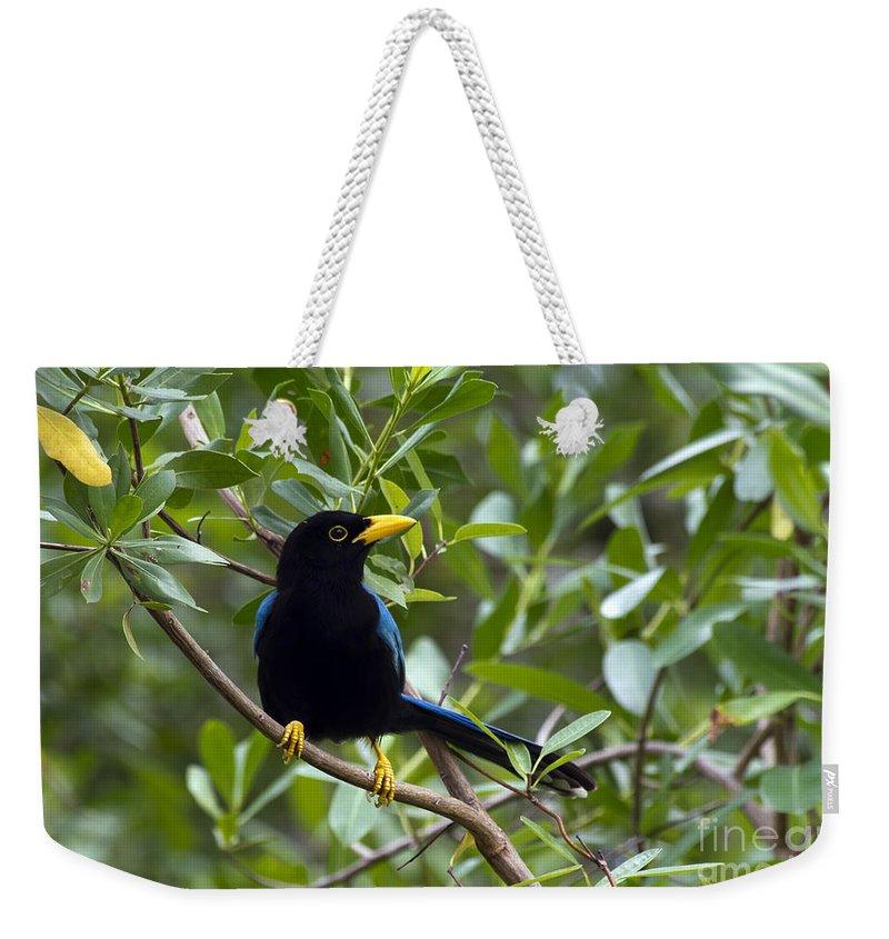 Bird Weekender Tote Bag featuring the photograph Immature Yucatan Jay by Teresa Zieba