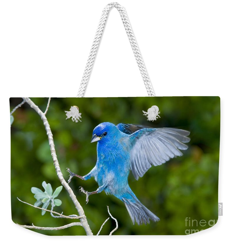 Fauna Weekender Tote Bag featuring the photograph Indigo Bunting Alighting by Anthony Mercieca
