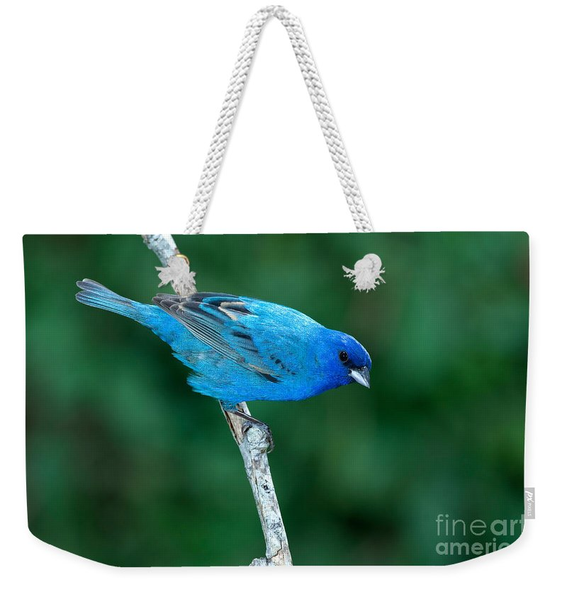 Fauna Weekender Tote Bag featuring the photograph Indigo Bunting Passerina Cyanea by Anthony Mercieca