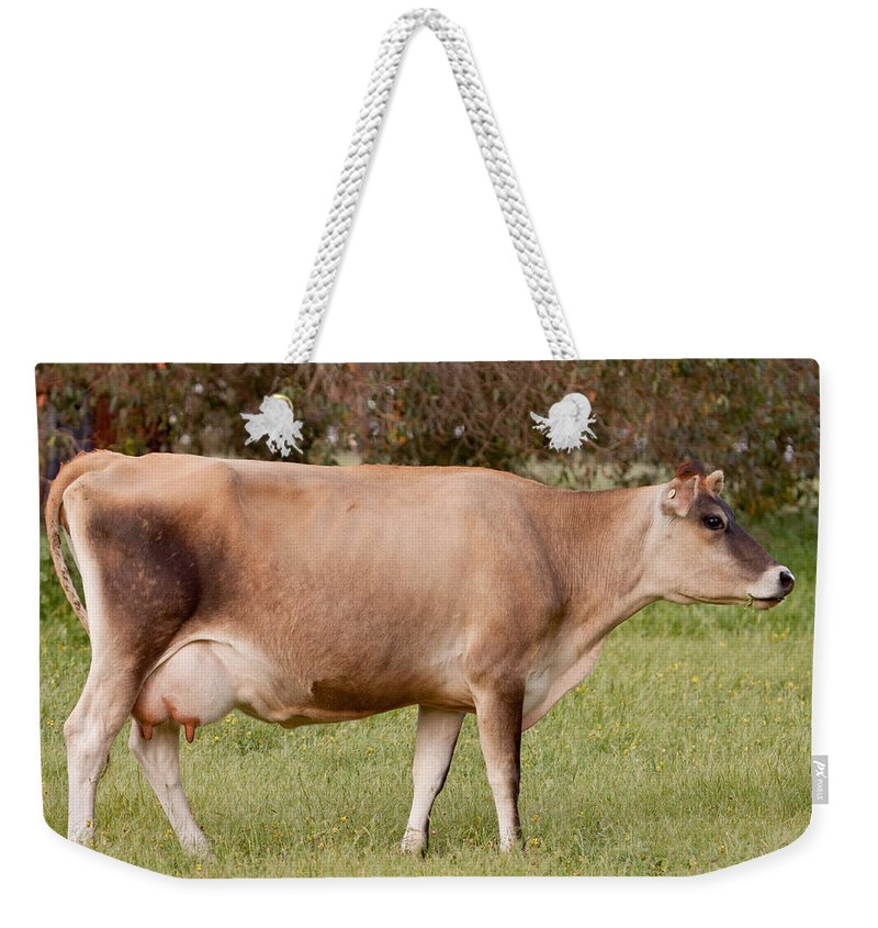 Jersey Weekender Tote Bag featuring the photograph Jersey Cow In Pasture by Michelle Wrighton