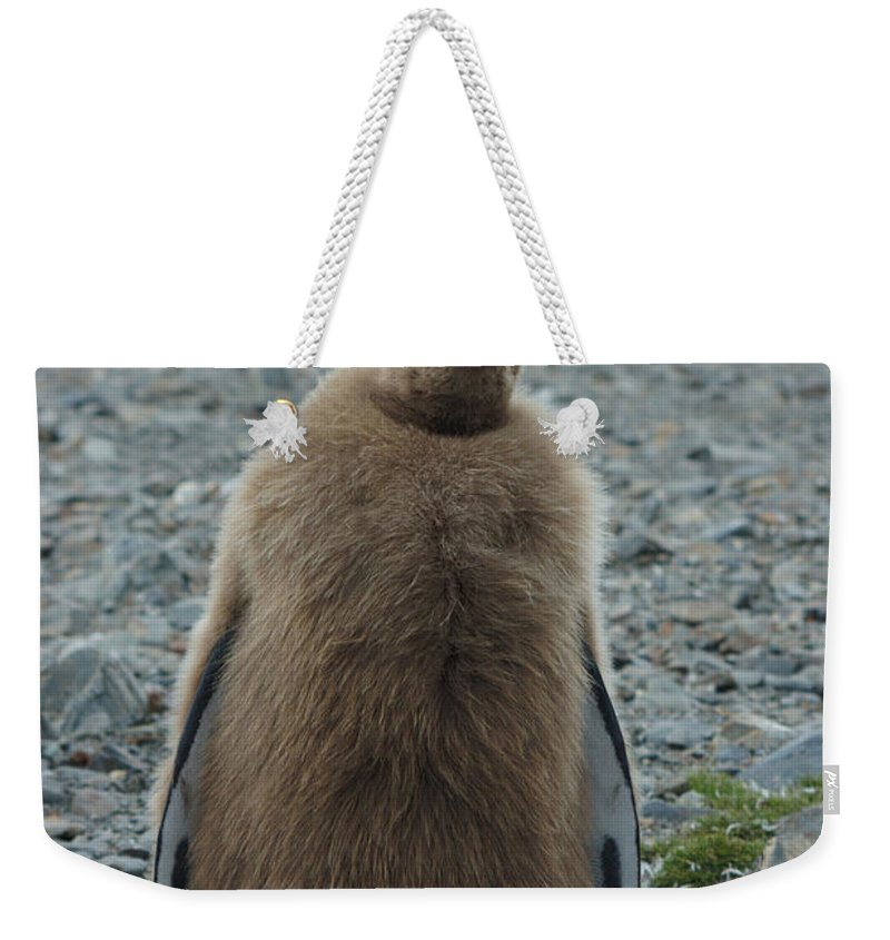 King Penguin Chicks Weekender Tote Bag featuring the photograph King Penguin Chick by Amanda Stadther