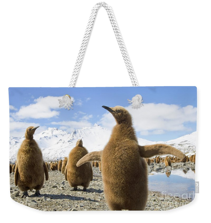 00345959 Weekender Tote Bag featuring the photograph King Penguin Chicks by Yva Momatiuk and John Eastcott