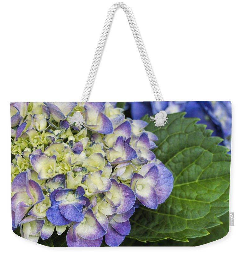 Hydrangea Macrophylla Weekender Tote Bag featuring the photograph Lavender Blue Hydrangea Blossoms by Kathy Clark