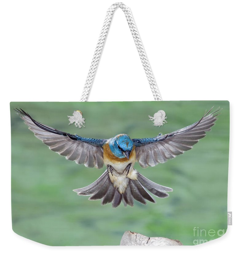 Bird Weekender Tote Bag featuring the photograph Lazuli Bunting In Flight by Anthony Mercieca