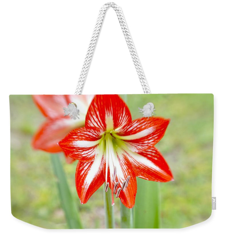 Genus Weekender Tote Bag featuring the photograph Lensbaby 2 Orange Red And White Amaryllis Blooms by Sally Rockefeller