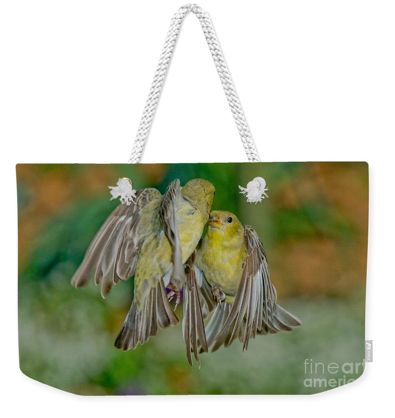 Lesser Goldfinch Weekender Tote Bag featuring the photograph Lesser Goldfinch Females Fighting by Anthony Mercieca