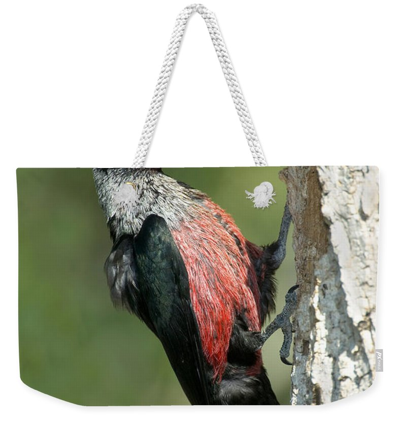 Animal Weekender Tote Bag featuring the photograph Lewiss Woodpecker With Fruit In Beak by Anthony Mercieca